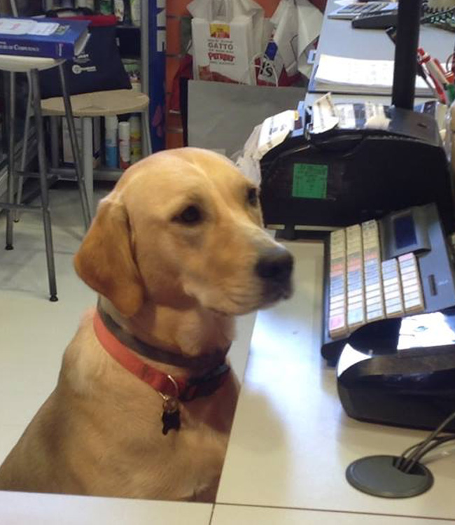 Nell'immagine Tash alla cassa il Cane Mascotte del negozio McFido Firenze!!